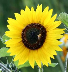 jerusalem gold flower - Edited